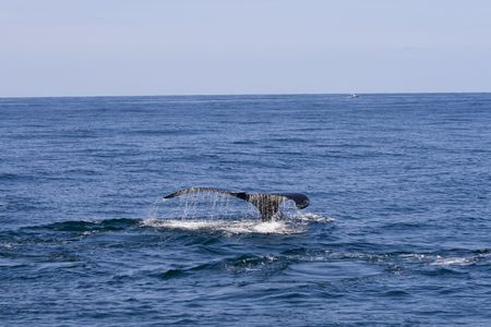 Whale with tail and waterdrops out of ocean Stock Photo - 3768922