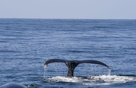 baleen whale: Ballena fin de hacer frente a bacalao