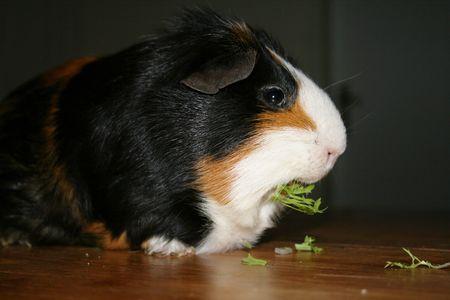 munching: Guinea pig munching green Stock Photo