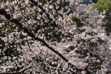 Beautiful Cherry tree in Tokyo in full bloom photo