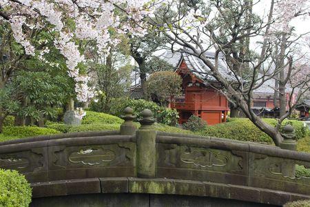 Sakura blossom in Japanese garden with temple photo