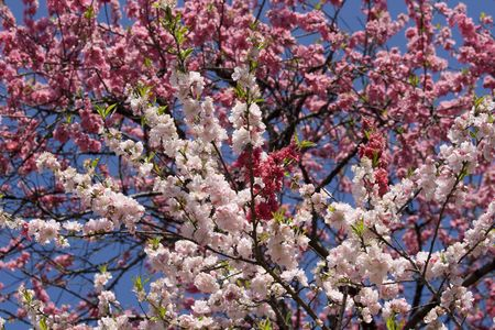seasonable: Close up of sakura blossom against blue sky in Japan Stock Photo