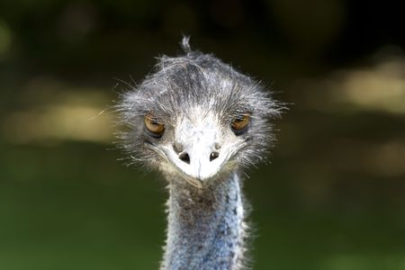 Close up of head of ostrich photo