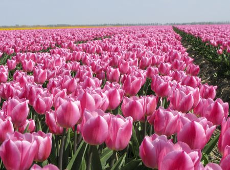 tulips in green grass: Dutch tulip field with pink tulips Stock Photo