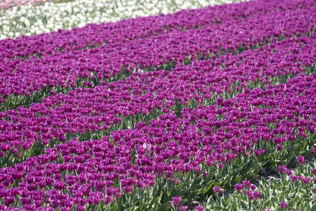 Tulip field in the Netherlands filled with purple tulips Stock Photo - 4742187
