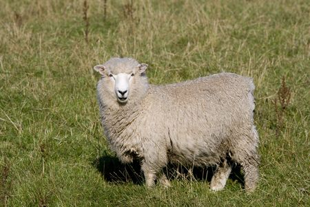 wooly: New Zealand sheep standing in grass
