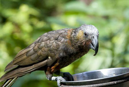 parot: The Kaka is an endemic bird to New Zealand.