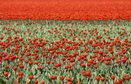 Tulipfield in the Netherlands with abundance of red tulips photo