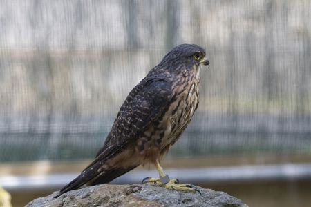 New Zealand Falcon. This falcon has shorter wings than many others. It preys largely on birds and is very intolerant of intruders. Stock Photo - 4922064