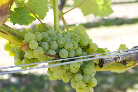 White sauvignon blanc grapes in vineyard photo