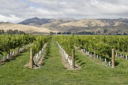 Vineyard with view on mountain range in New Zealand photo