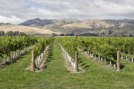 marlborough: Vineyard with view on mountain range in New Zealand