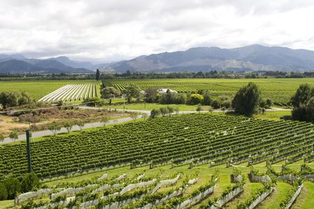 vineyard in New Zealand with rows of sauvignon and pinot noir photo