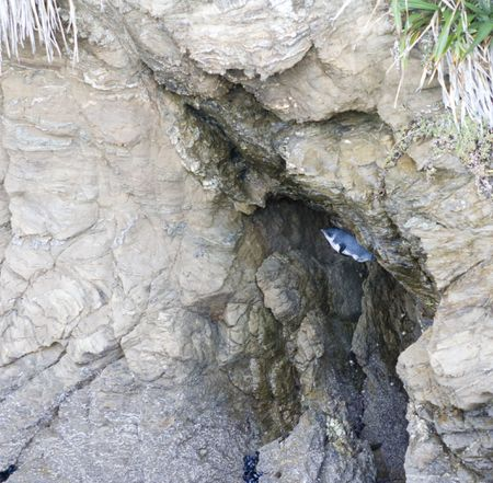 blue penguin hiding in rock crevasse Stock Photo - 5043158