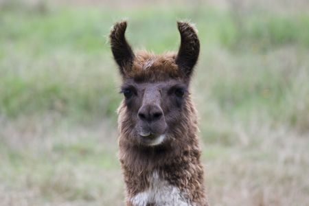 Close up of the head of an Alpaca photo