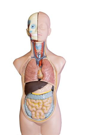 Anatomic model of a female body photo
