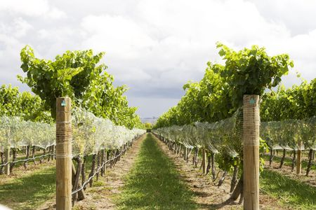 biological vineyard: Low angle view on rows of vines at vineyard Stock Photo