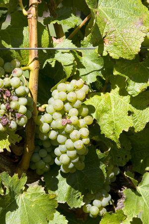 sauvignon blanc: White sauvignon blanc grapes hanging in vineyard
