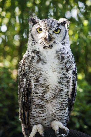 scavenging: Great Horned Owl (Bubo virginianus)   Stock Photo
