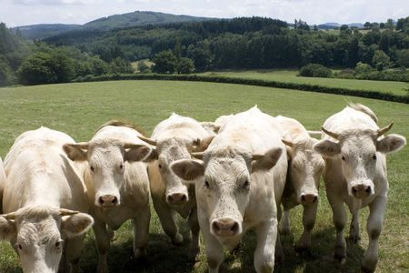 Six white charolais cows in a row Stock Photo - 5546840