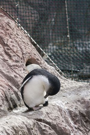 Blue penguin in captivity picking its feathers Stock Photo - 5760118