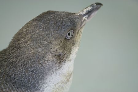 Small blue penguin in close up Stock Photo - 5760121
