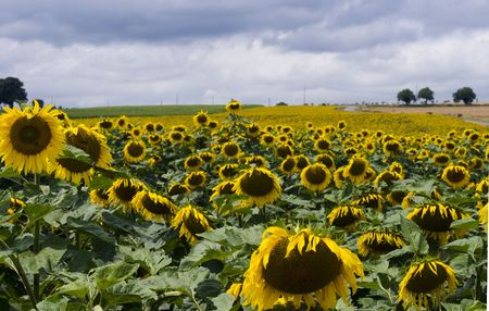 Sunflowers on a field in France photo
