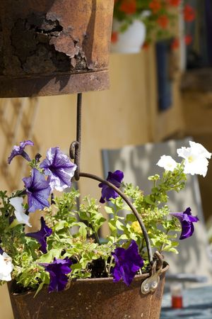Petunia in rusty hanging baskets photo