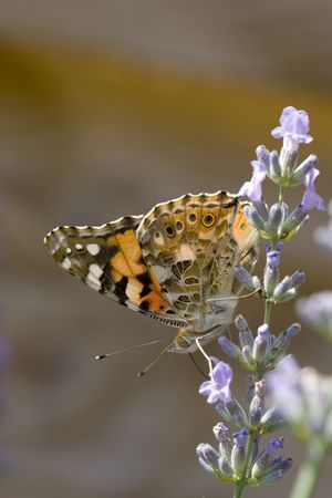 Macro shot of a buttefly on a lavender flower photo