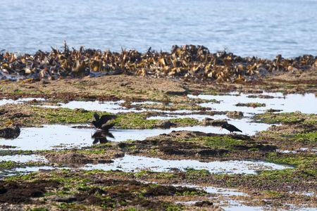three oystercatchers on coast of New Zealand Stock Photo - 6794064