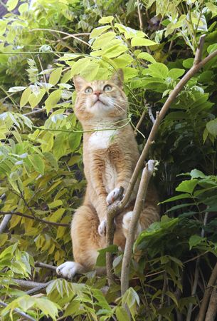 Red cat on branches of at tree looking alert  photo
