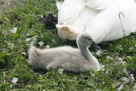 Cute young swans lying on grass photo