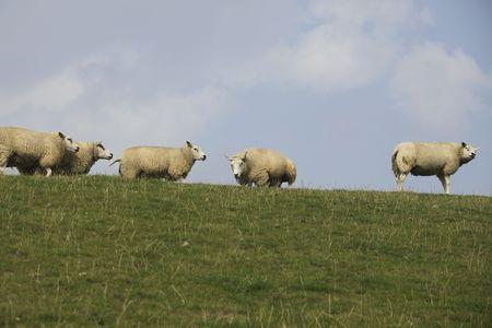 tortillera: Grupo de ovejas en dique en verano