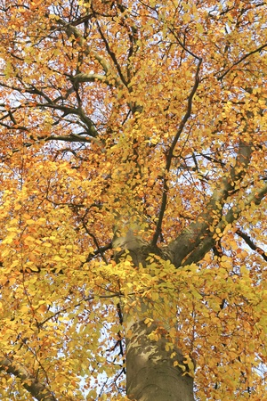 fagus grandifolia: Low angle view of a tree in autumn Stock Photo