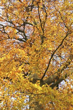 fagus grandifolia: Low angle view of big tree with fall foliage