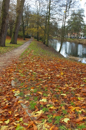 fagus grandifolia: Colorful leafs on a path in the park