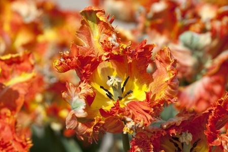 Close up of orange tulips in Dutch Keukenhof photo
