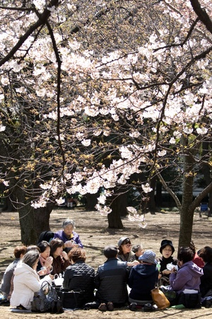 TOKYO, JAPAN - APRIL 2, 2009:  Women drinking trea under he cherry blossoms during cherry blossom celebration (called hanami) in  Tokyo park on April 2, 2009 in Tokyo, Japan.