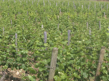 cote de nuits: Close up of vineyard in the Cote dOr in Burgundy