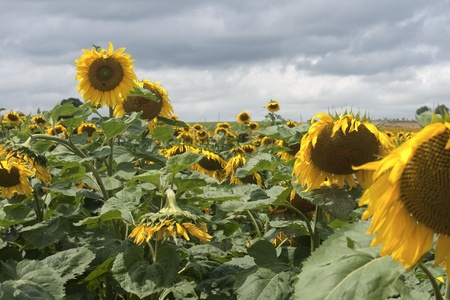 Sunflowers  in sun and  bad weather  photo