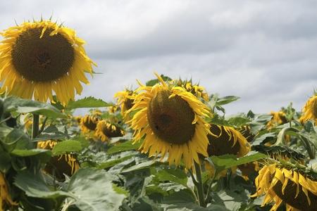 Sunflowers  with a dark sky photo