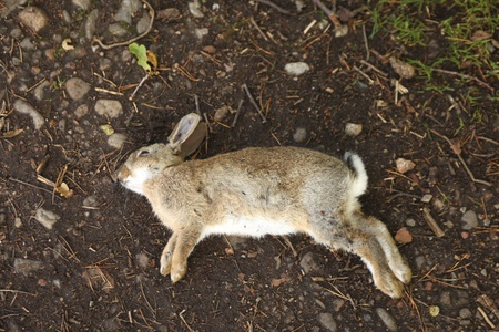 dead animal: Dead rabbit lying  on earth