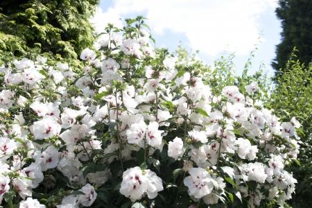 Plant full of Hibiscus flowers photo