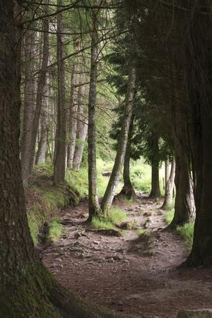 scotland landscape: Walking path through dark pine forest Stock Photo