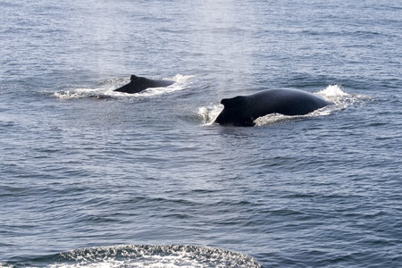 Humpback whales in ocean around cape cod in the USA  photo