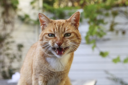 wrathful: Red angry cat looking at camera Stock Photo
