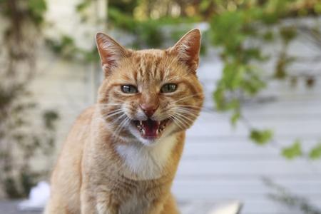 Red böse Katze Blick in die Kamera Standard-Bild - 10952208