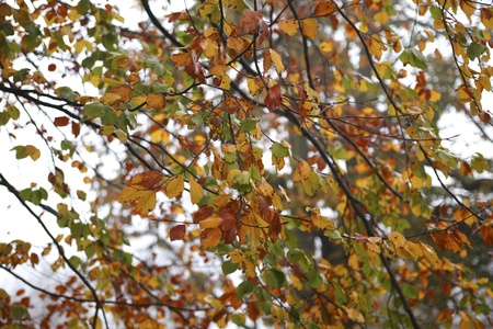 fagus grandifolia: Tree with many fall colors in autumn Stock Photo