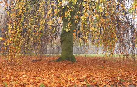 fagus grandifolia: Willow tree in the fall standing on a carpet of orange leafs