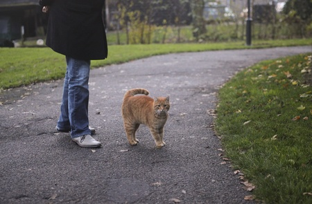 companion: red tabby cat walking together with human companion Stock Photo